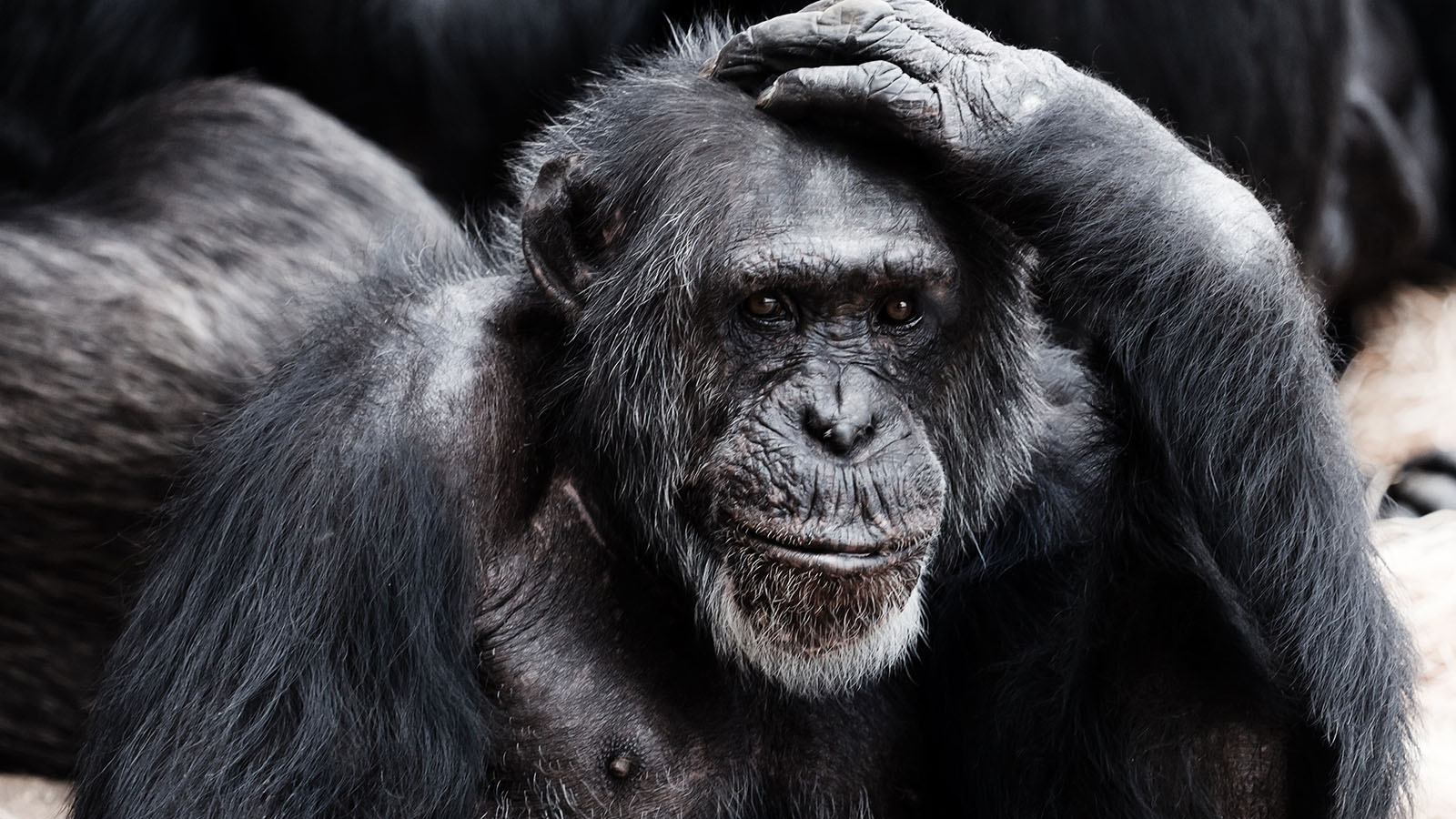 An ape looking perplexed with one hand placed on its head.
