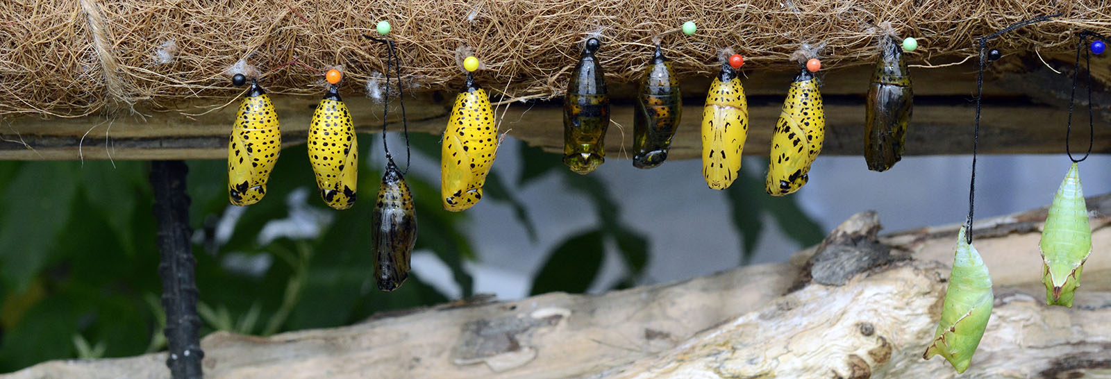 Beautiful yellow and black cocoons dangle from a tree, ready to give birth to recently metamorphosised butterflies.