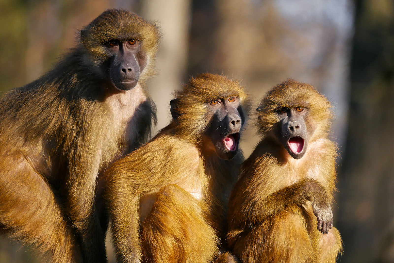 Three monkeys looking shocked and excited.