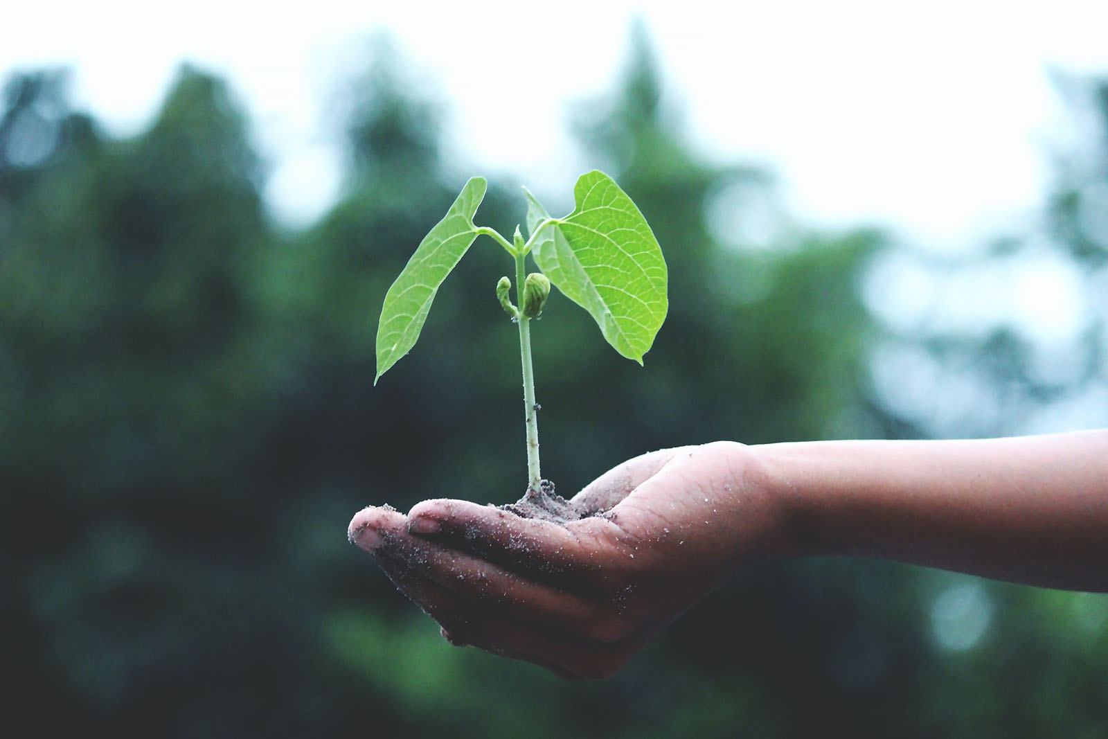 A seedling growing from the soil in a person's hand.